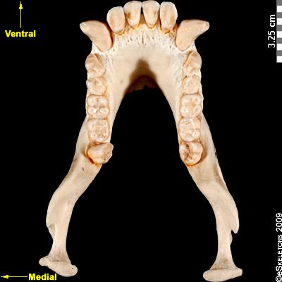 http://eskeletons.org/sites/eskeletons.org/files//image/orientation/chimpanzee_skull_mandible_Occlusal_0.jpg