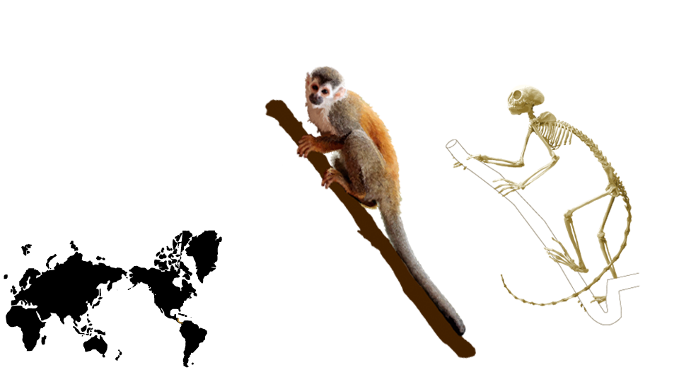 Adult Male Squirrel Monkey   eSkeletons